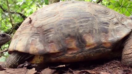 Yellow-footed tortoises (Chelonoidis denticulata) mating