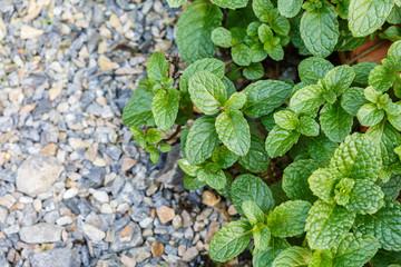 Mint on stone ground