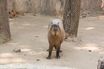 Portrait of a capybara
