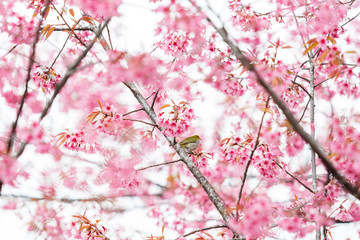 Bird on Cherry Blossom and sakura