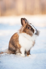 Little dwarf rabbit sitting outdoors in winter