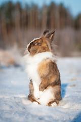 Little dwarf rabbit standing on hind legs in winter
