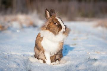 Little dwarf rabbit walking outdoors in winter