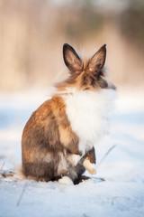 Little dwarf rabbit looking back