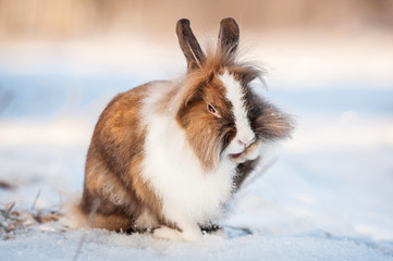 Little miniature rabbit washing the paws in winter