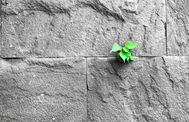 pipal leaf growing through crack in old sand stone wall, surviva
