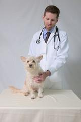 Veterinarian examining small terrier