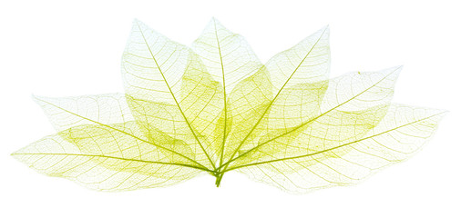 ossature de feuilles sèches transparentes