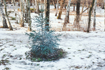 Little green spruce on meadow with melting snow in forest