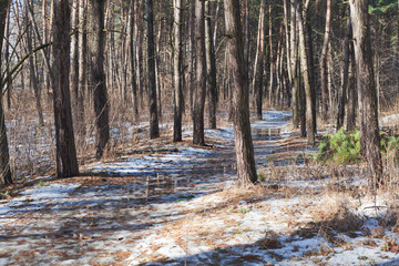 Melting snow on path in pine forest at early spring