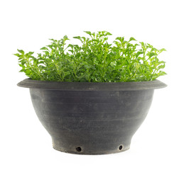 Pot of watercress - healthy vegetable isolated on white