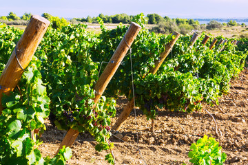 Vineyards plan in sunny august day
