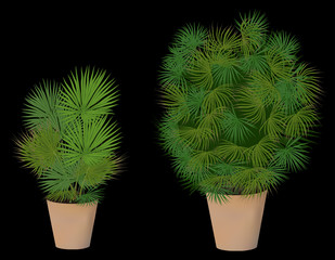 two green palm trees in pots isolated on black