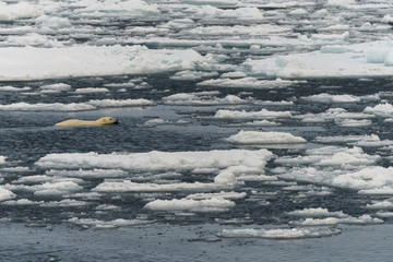 Polar bear swimming in the pack.