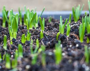 Young seedling growing