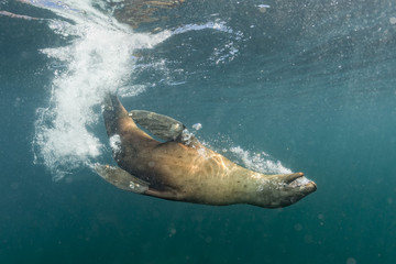 sea lion playing underwater