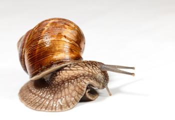 Curious snail look around