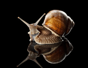 Close-up of garden snail