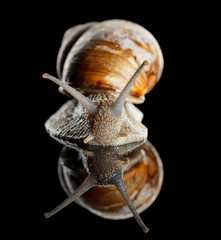 Snail front view