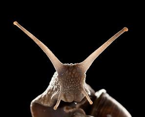Snail macro portrait