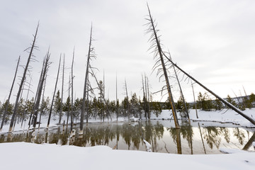Dead trees in a geyser basin