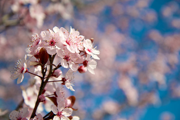 Close-up almond blossoms in spring