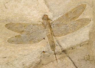 Fossil of a dragonfly.