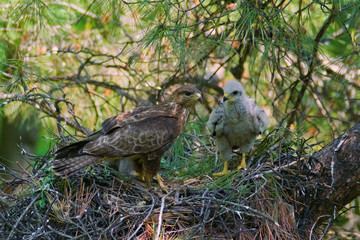 Common Buzzard adult and chick in nest on a pine tree