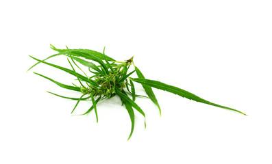 Medical marijuana isolated on white background. Therapeutic and