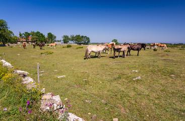 Herd of horses on Oland island