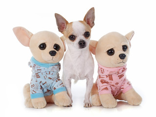 young chihuahua and toy