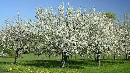 Kirschblüte in Deutschland