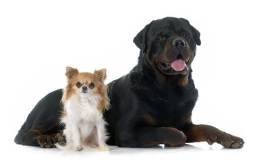 young chihuahua and rottweiler