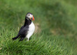 Cute Common Puffin, Fratercula arctica in green grass.