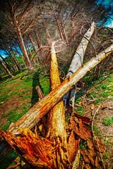 broken trees in a pine wood