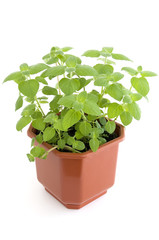 Mint herb growing in flowerpot over white