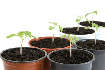 Young seedlings of cherry tomato in pots over white close up