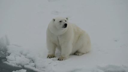 Polar bear sitting on ice floe
