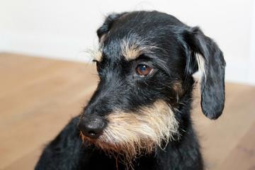 Portrait eines Terriermischlings