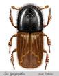 Leinwandbild Motiv bark beetle, ips typographus