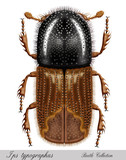bark beetle, ips typographus