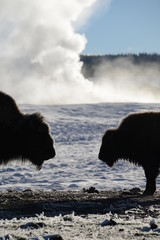 Two bison in winter
