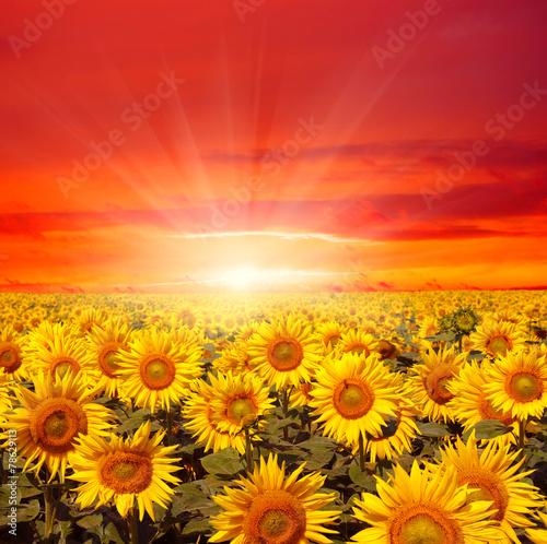 Leinwanddruck Bild field of sunflowers