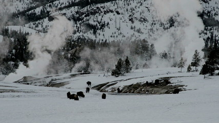 Bison in snowy landscape