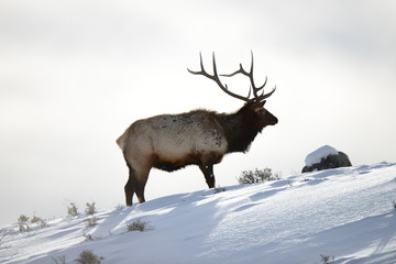 Wapiti in snow