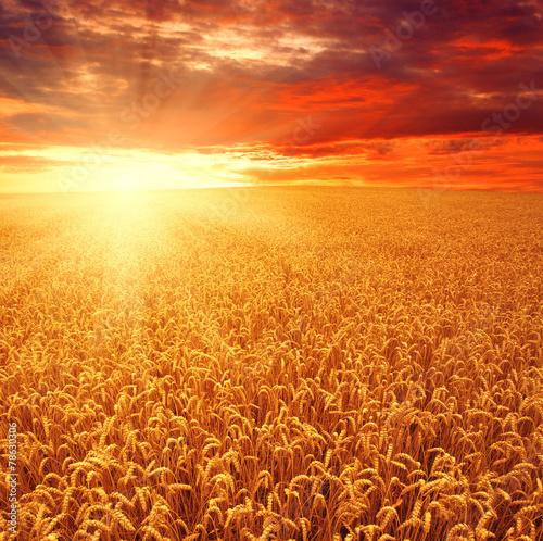 Field of wheat - 78630306