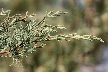 Juniperus sargentii