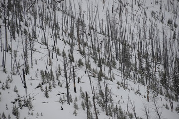 Burnt forest in winter