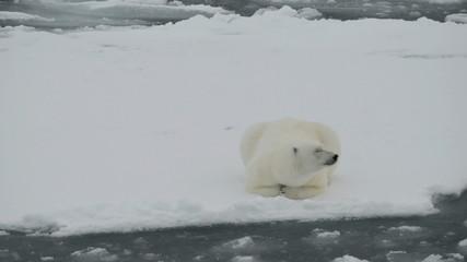 Polar bear lying on ice floe of the pack