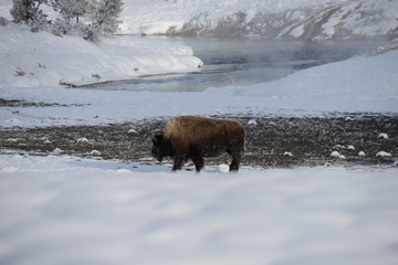Bison in snow on riverbank